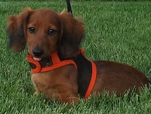 dachshund wearing harness