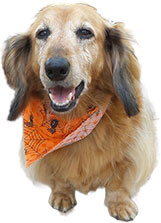 hello dachshund lovers